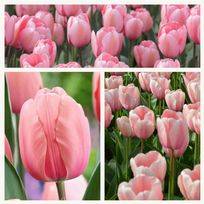 Tulip - Salmon Impression